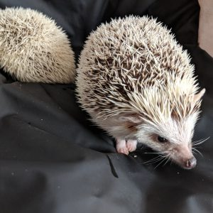 Two Albino Hedgehogs with their backs to each other on a background of a sheets of san Francisco Black Fluidproof Sheet